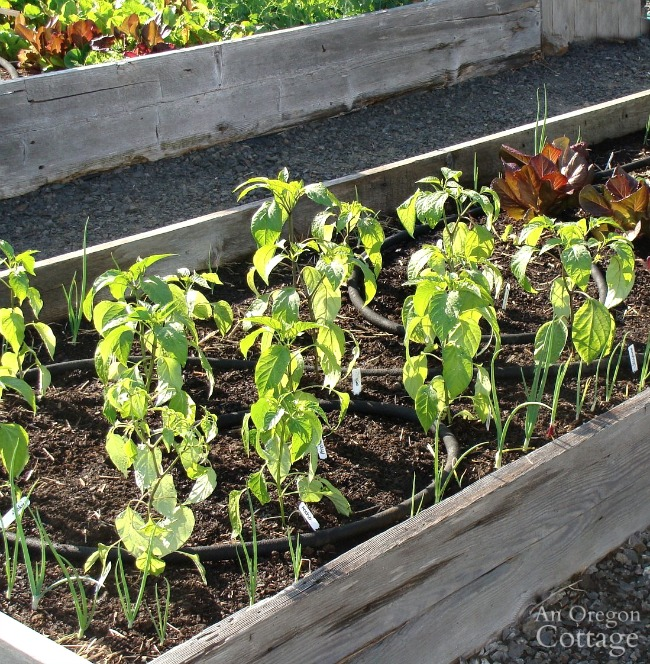 Hot Pepper Guide-raised bed with peppers