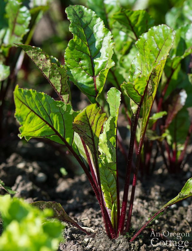 Vegetable Planting for Fall-beets