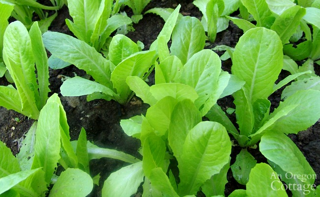 Vegetable Planting for Fall-romaine transplants