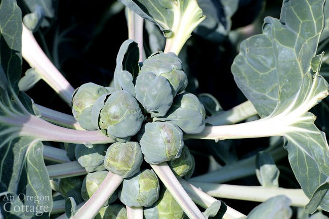 Vegetable Planting for fall-brussels-sprouts