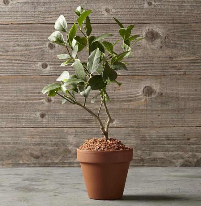 Lemon Tree in a Terra Cotta Pot