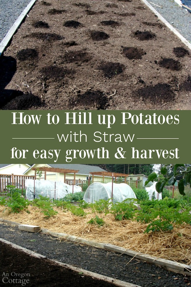 Grow potatoes with straw for easy growth-harvest