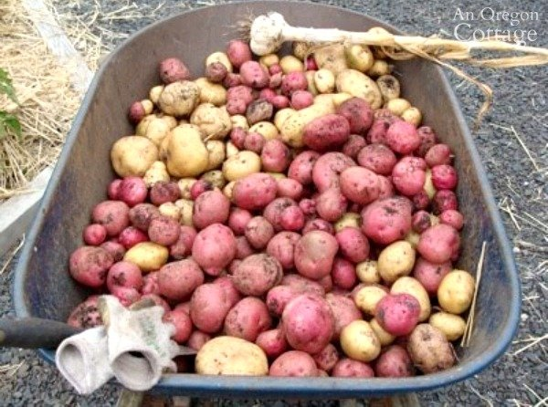 wheelbarrow of harvested potatoes
