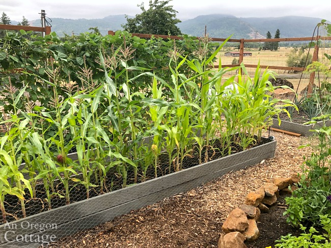 2019 Summer Garden Tour-corn bed