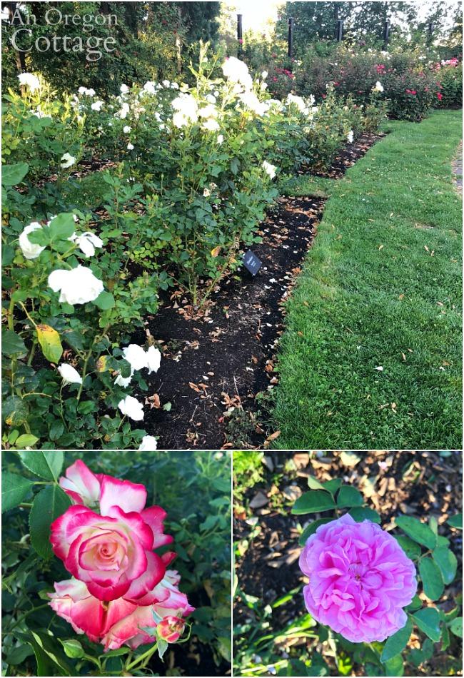 Eugene Rose Garden-8-19