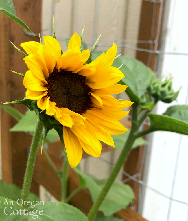 Summer Garden Tour 2019-sunflower