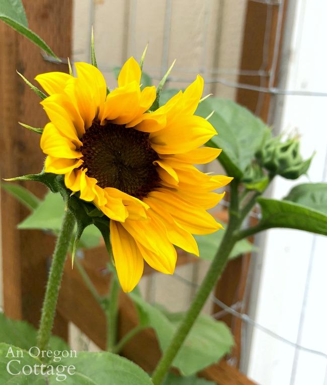 Summer Garden Tour 2019-sunflower