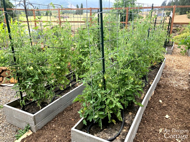 vegetable Garden Tour 2019-tomato beds