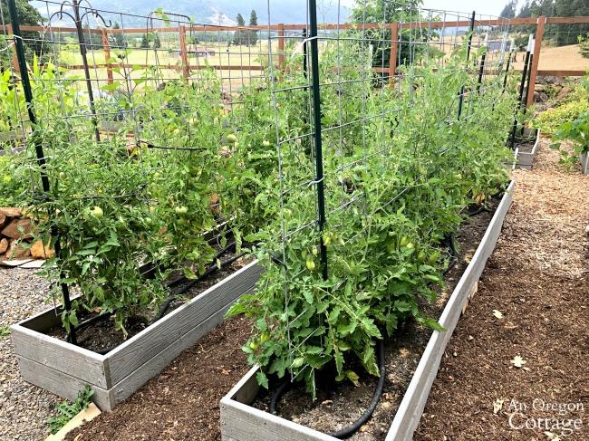 vegetable Garden Tour 2019-tomato beds
