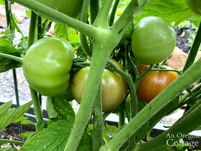 green and ripening tomatoes
