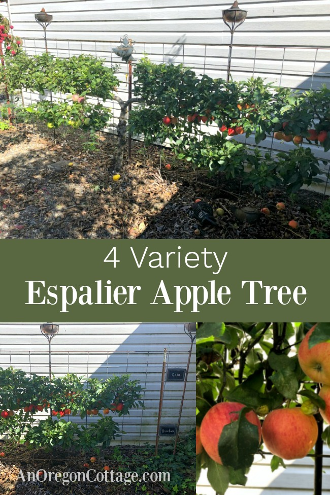 four variety espalier apple tree
