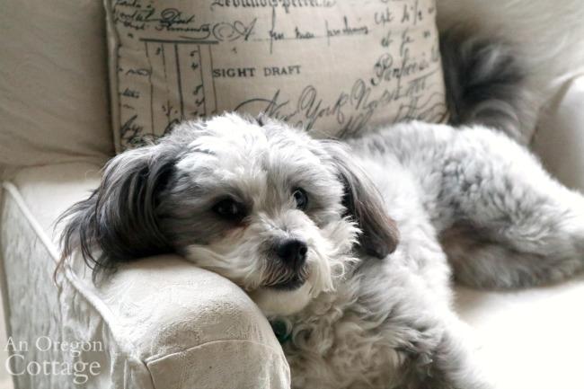 Puppy Jynx in chair