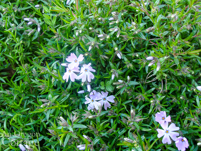 creeping phlox starting to flower