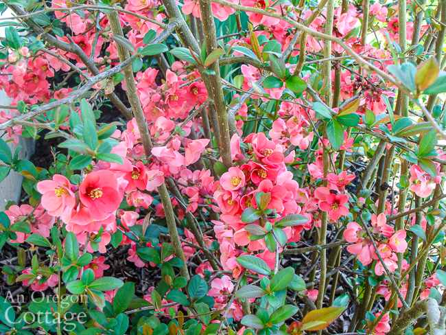 flowering quince in bloom