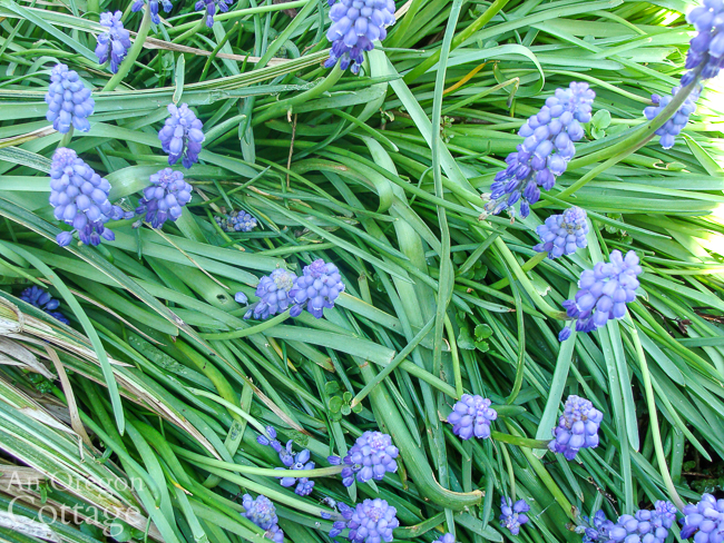 grape hyacinth blooming in foliage