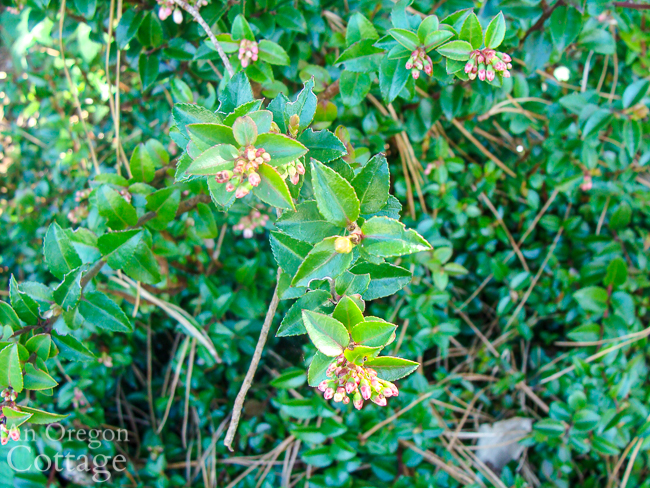 huckleberry flower buds