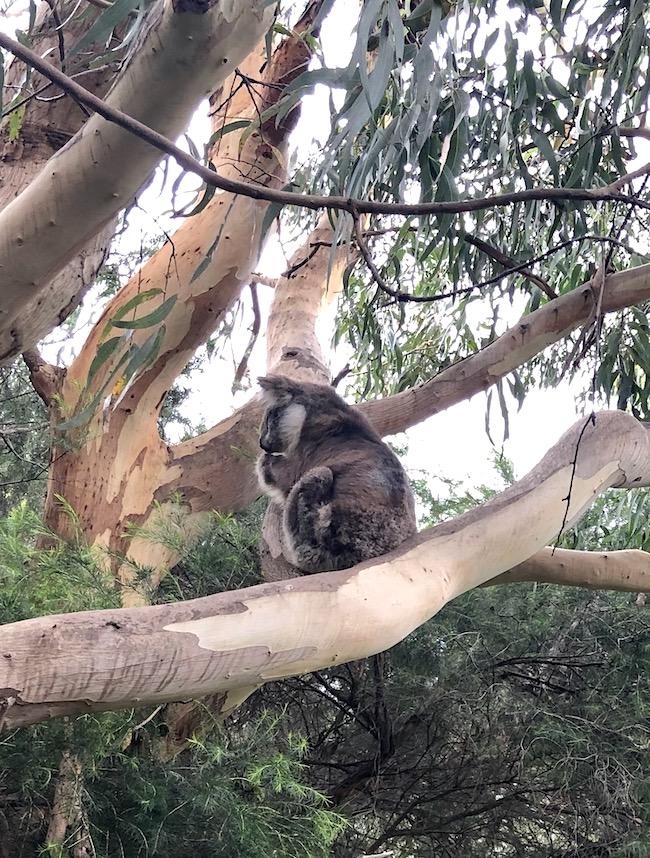 koala on Australian walk