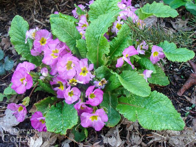 pink primrose flowering