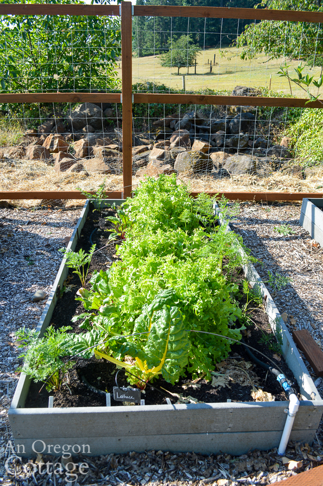 lettuce, beets, carrot bed in late july