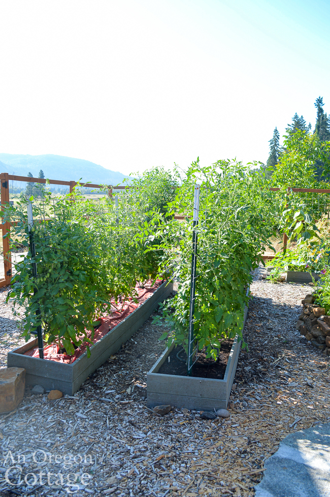 tomatoes on cattle panel trellis-july