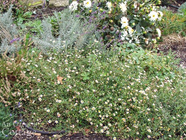 Fleabane-lavender in October