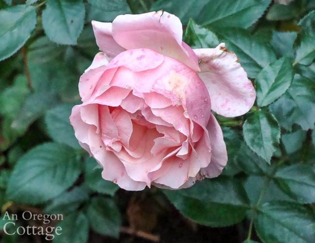 October pink rose