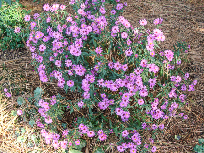 Fall flowers to plant: aster-Michaelmas daisies in september