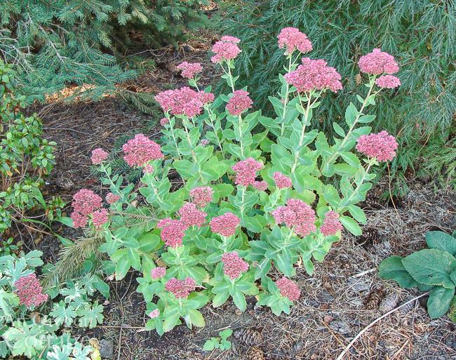 fall flowers to plant: autum joy sedum in september