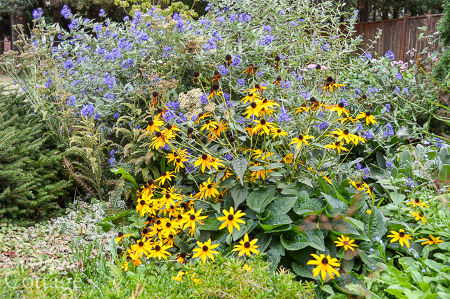 Fall Flowers to plant: black eyed susan and ceanothus