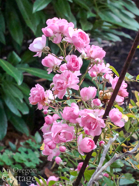fairy rose blooming in October