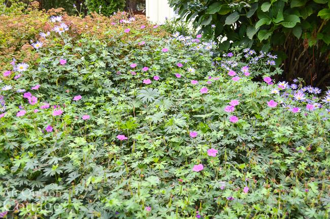 geranium and purple daisy