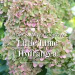 how-why to grow Little Lime Hydrangea