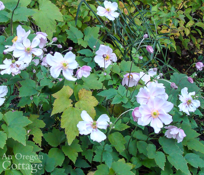 Fall flowers to plant: japanese anemone blooming in October