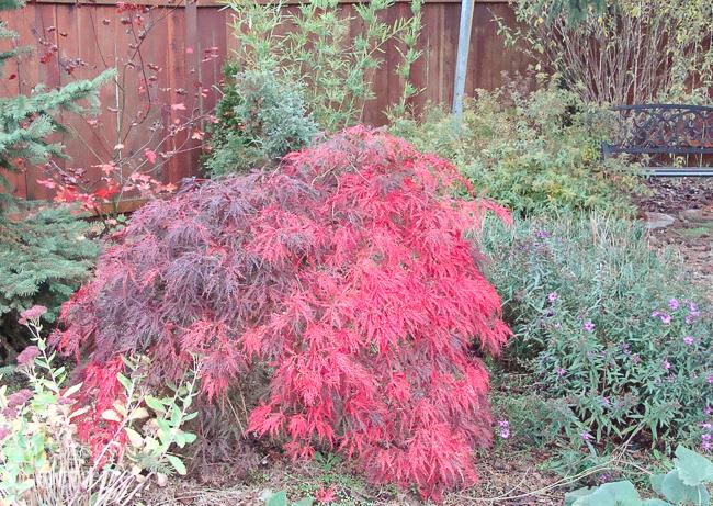 October Japanese maple