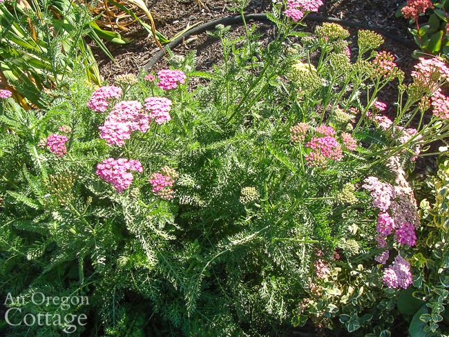 pastel yarrow in september