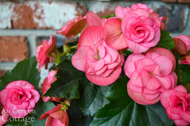 pink begonia in September