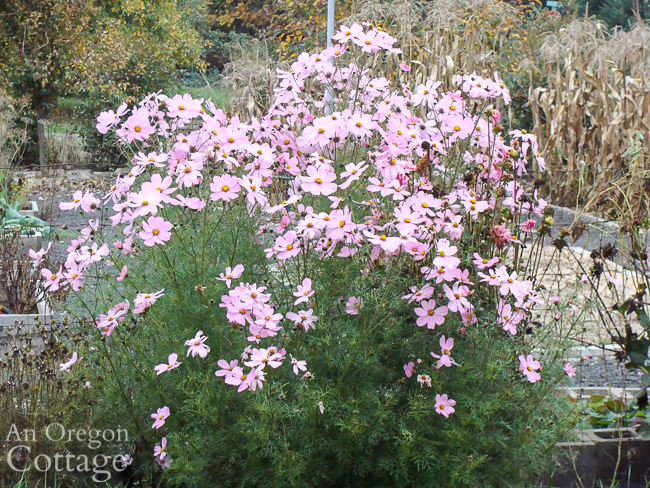 tall cosmos blooming in October