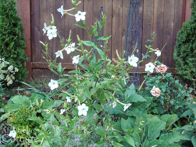 white Nicotiana blooming in October