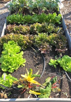 fall garden lettuce bed