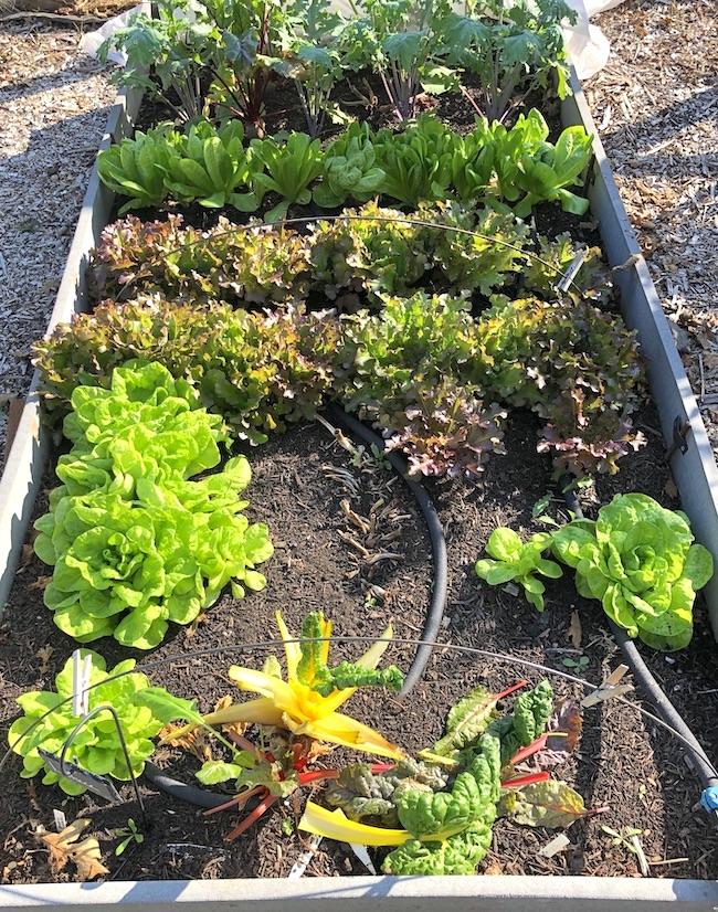 fall garden lettuce bed