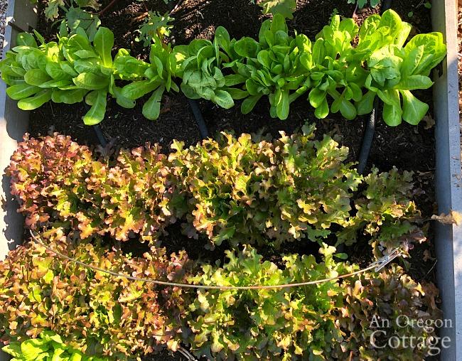 fall lettuce