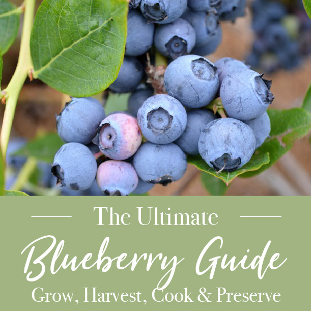 Blueberry guide to growing, cooking and preserving