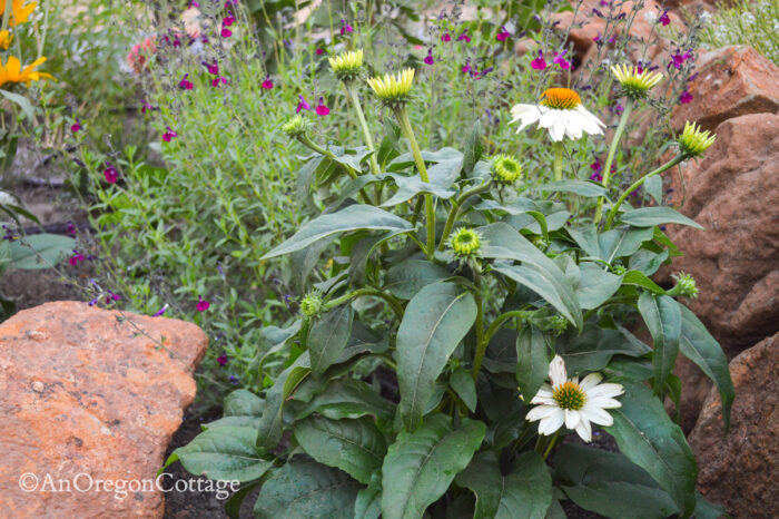 9-21 sunken garden-white coneflower close