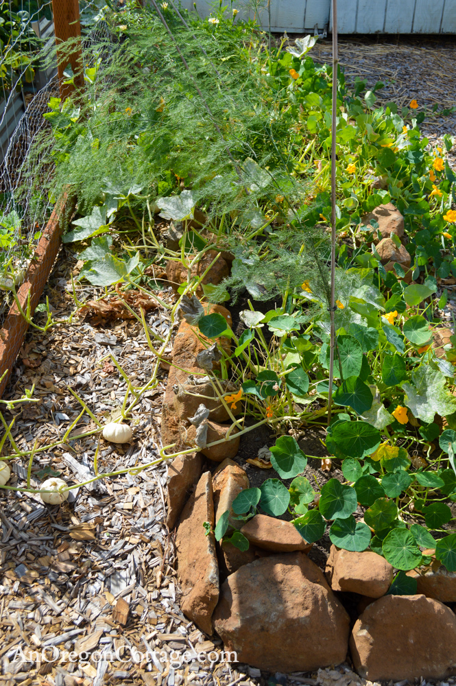 fall garden 21-asparagus-eaten pumpkin leaves