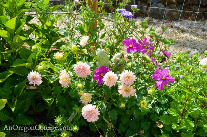 fall garden 21-aster close up