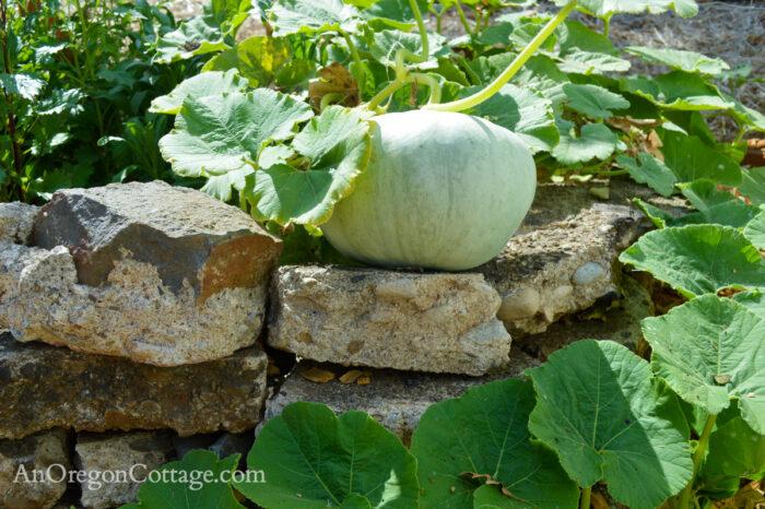 fall garden 21-jarradale pumpkin close