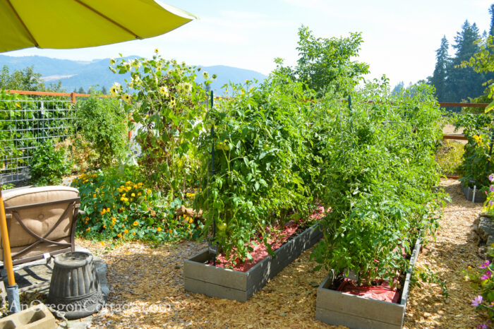 fall garden 21-looking east-tomatoes