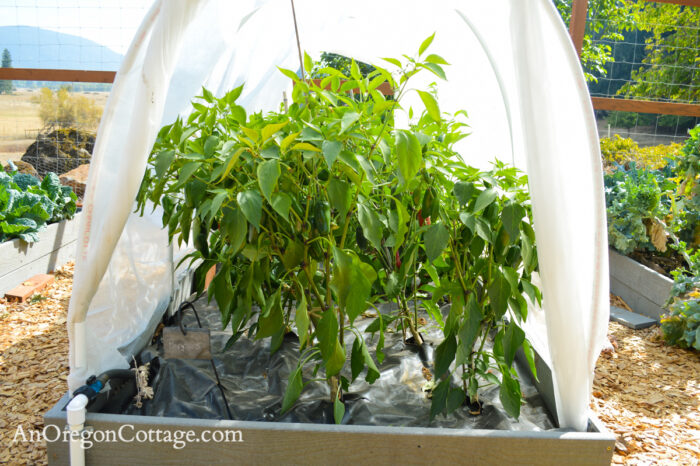 fall garden 21-peppers under cover