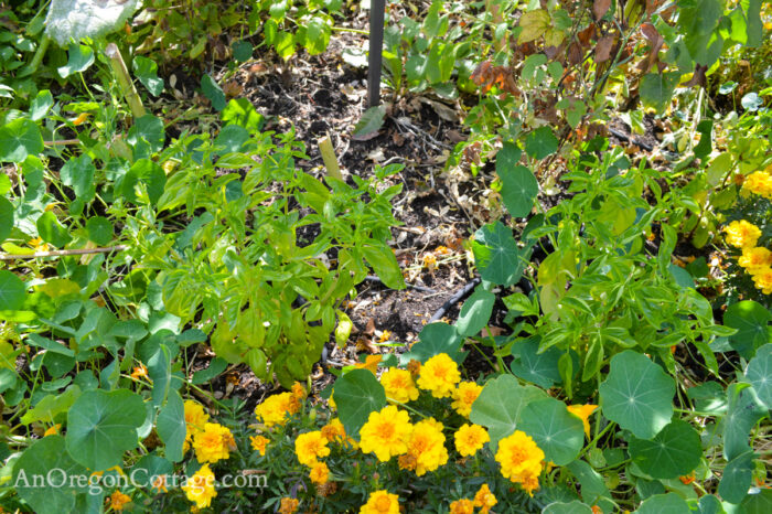 fall garden 21-sad basil